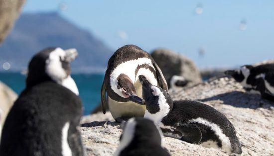 Pinguine auf einem Felsen in einer sonnigen Küstenlandschaft