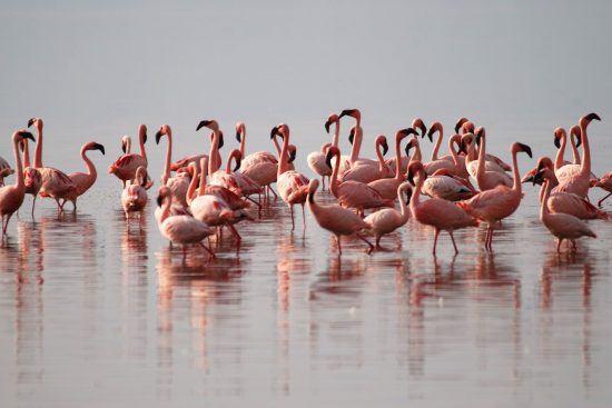 Pinke Flamingos im Wasser