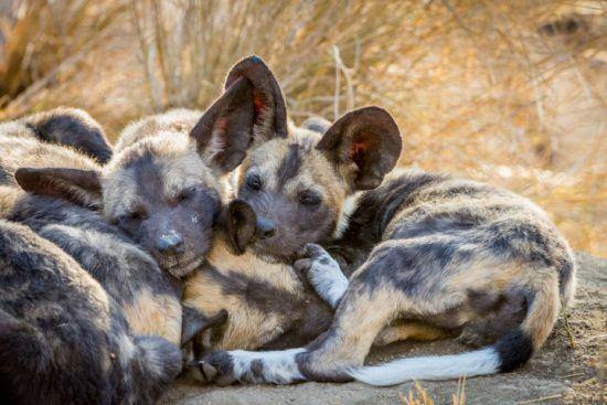 Kleine Wildhunde kuscheln nach dem Spielen