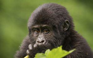 Bébé gorille des montagnes