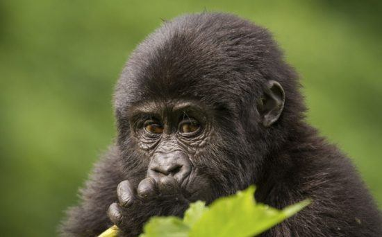 Gorille des montagnes au Rwanda.
