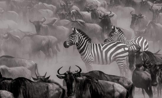 Zebra pensativa em meio à Grande Migração, por Clement Kigaru