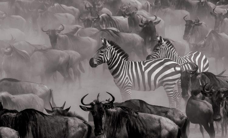 La Grande Migration, zèbres et gnous en noir et blanc par Clement Kigaru, le grand gagnant de notre compétition de photographies Africa's Photographer of the Year.