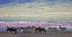 Zèbres, gnous et flamands roses au Ngorongoro, Tanzanie