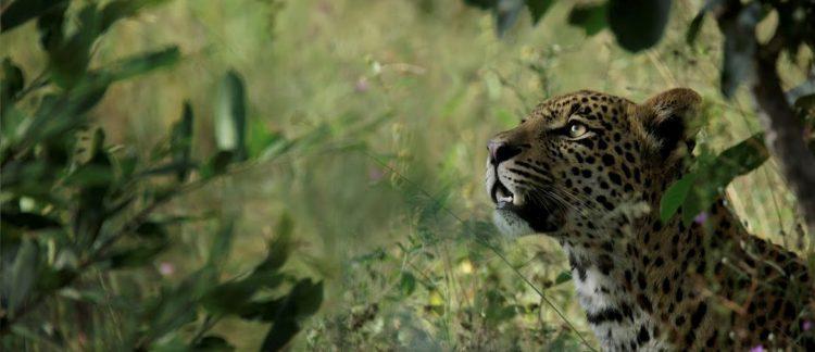 Léopard à Silvan Safari dans la réserve de Sabi Sand en Afrique du Sud.