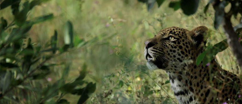 Leopardo en Silvan Safari en la Reserva de Animales Sabi Sand, Sudáfrica