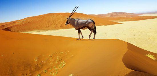 Oryxantilope auf einer Sanddüne in der Namib - Safari in Namibia