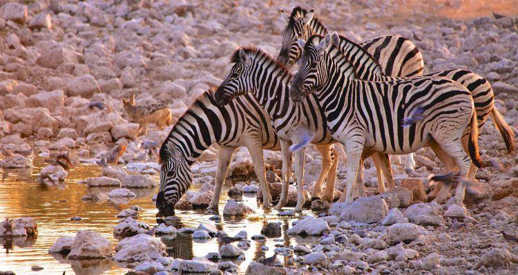 Zèbres s'abreuvant dans le Parc National d'Etosha en Namibie