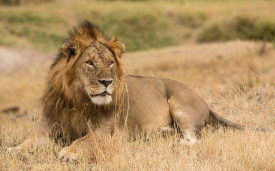 Un león reposando en la sabana africana