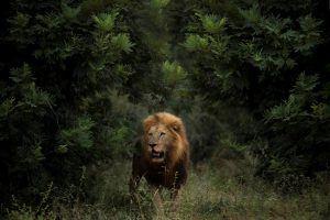Lion dans la réserve de Sabi Sand à la frontière du Parc Kruger, Afrique du Sud