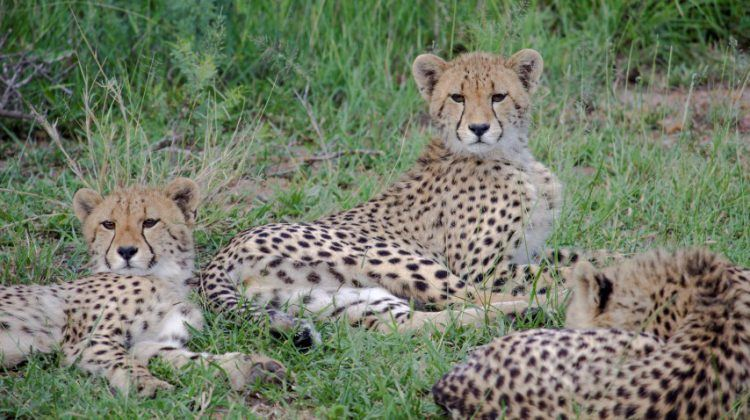 Drei junge Geparden liegen im grünen Gras und heben neugierig ihre Köpfe