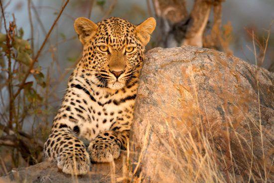 Leopard sonnt sich auf Stein bei Sonnenuntergang in der Greater Kruger Area