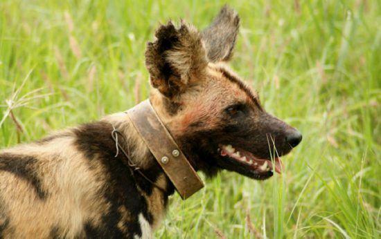 Nahaufnahme eines Afrikanischen Wildhundes mit einem Anti-Fallen-Halsband und Sender