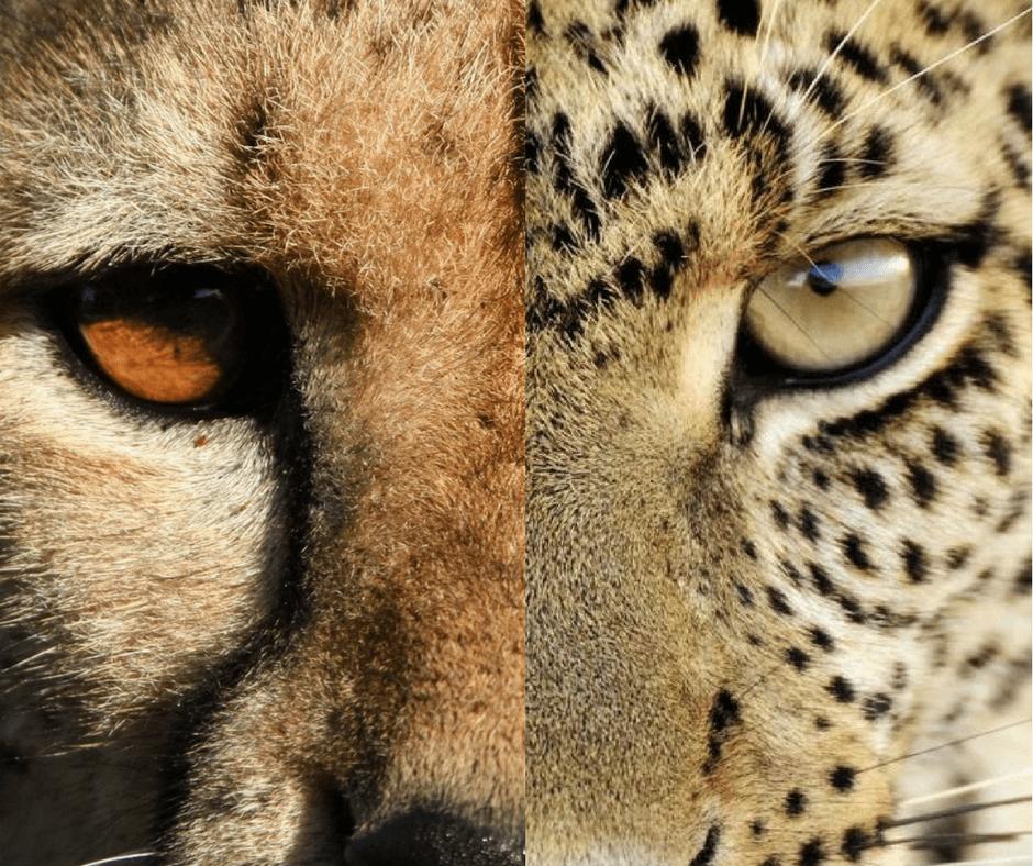 Guépard vs Léopard : les yeux