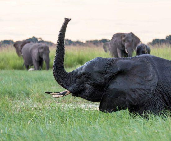 Elefant im grünen Sumpf