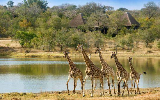 Giraffen ziehen am Wasserloch vor der Lodge vorbei