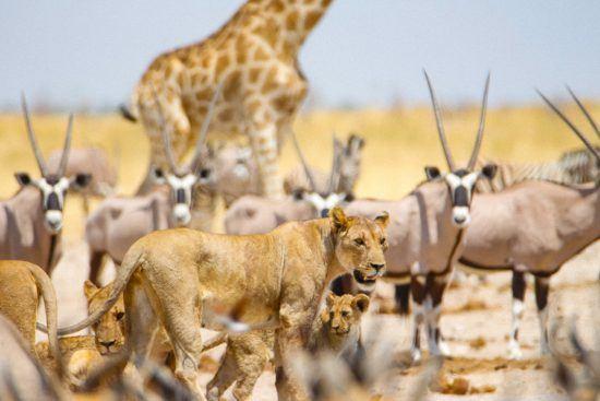 Giraffen, Löwen und Antilopen am Wasserloch
