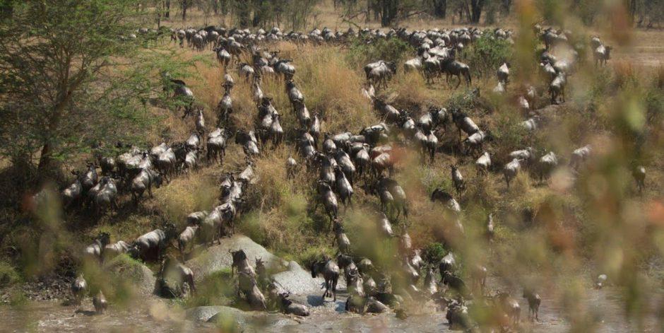 Vista aérea de la Gran Migración del Serengueti