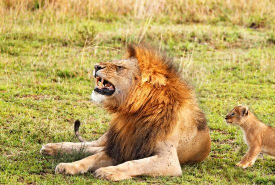 Löwe und Junges