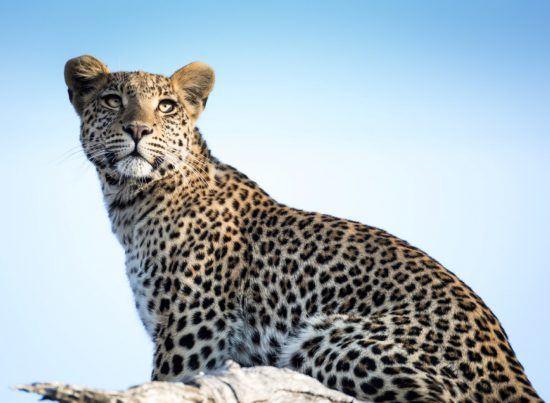 Ein Leopard vor blauem Himmel