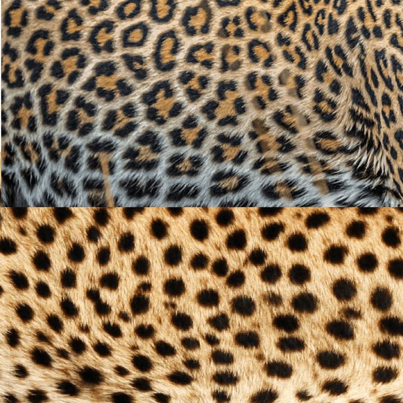 Comparaison tâches : guépard vs léopard