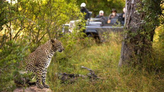 Lion Sands Game Reserve: Safari-Urlauber in einem offenen Geländewagen beobachten einen Leoparden, der im grünen Busch sitzt