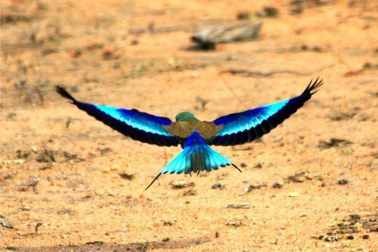 Gabelracke mit gespreizten Flügeln