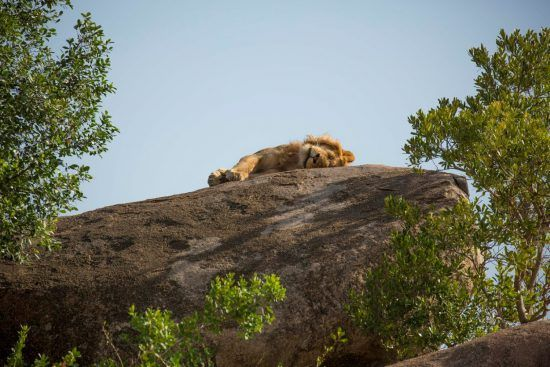 Löwe liegt auf Felsen
