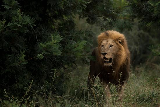 Ein Löwe mit prächtiger Mähne im grünen Busch des Sabi Sand Game Reserve