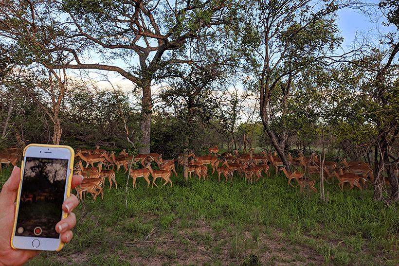 Impalas na Reserva Karongwe, África do Sul - Foto: Guilherme Perez