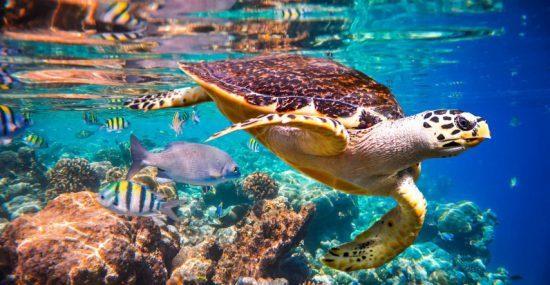 Eine Echte Karettschildkröte schwimmt durch eine bunte Unterwasserwelt