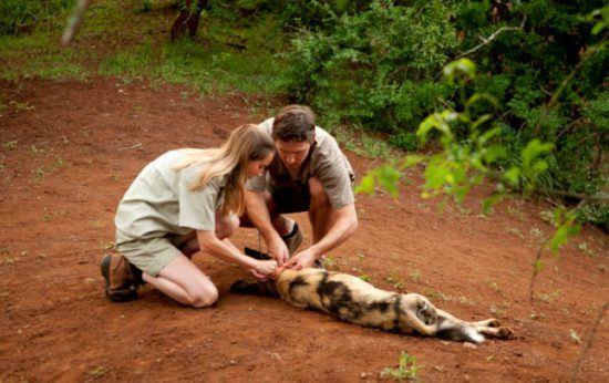 Ein Mann und eine Frau statten einen Afrikanischen Wildhund mit einem Anti-Fallen-Halsband und Sender aus