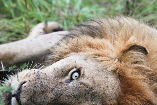Löwe liegt im Gras