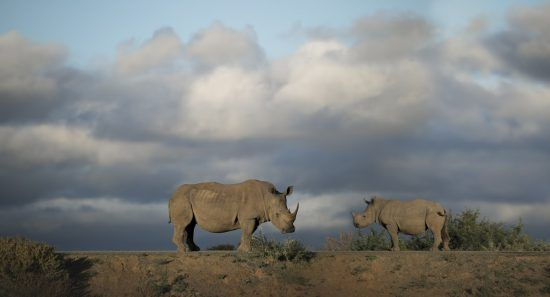 Two rhino on a hill spotted at Kwandwe Game Reserve in South Africa