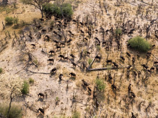 Vista aérea de búfalos pastando em Botsuana