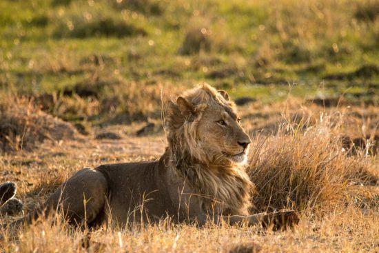 Um leão jovem descansa de forma imponente na savana