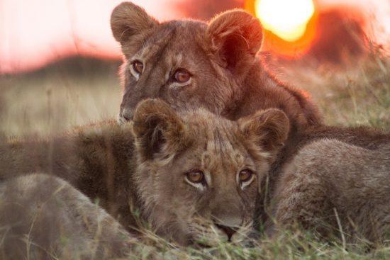 Filhotes de leão se acariciam enquanto olham para a câmera durante o pôr do sol