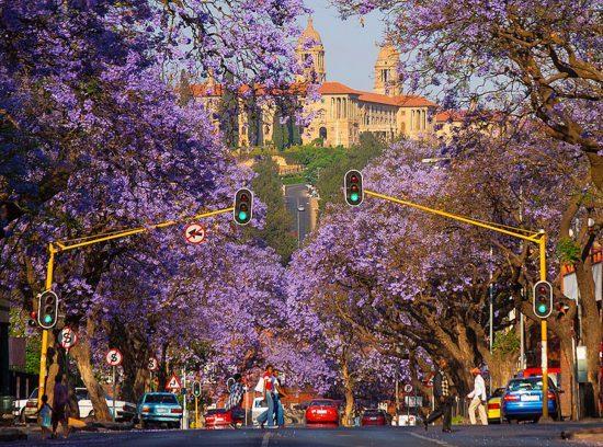 Lila blühende Bäume in einer Stadt