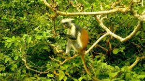 Ein Sansibar-Stummelaffe im grünen Regenwald