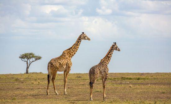 Giraffen in der Savanne
