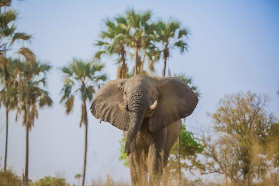 Uma fotografia de ângulo baixo de um elefante com palmeiras ao fundo em Botsuana