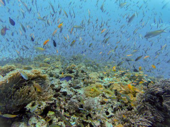 Ein bunter Fischschwarm an einem Korallenriff vor Sansibar