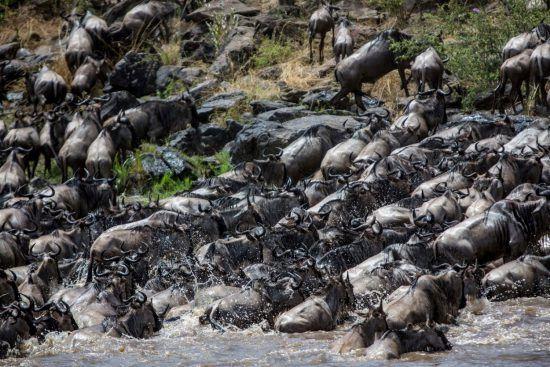 Gnus bei einer Flussüberquerung auf ihrer Großen Migration