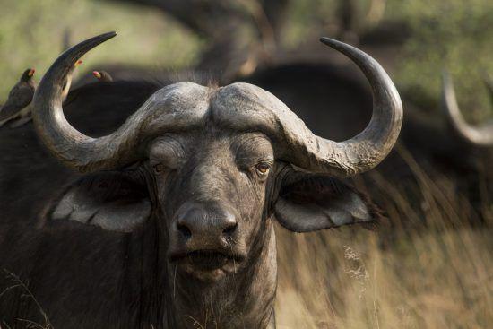 Búfalo adulto encara câmera
