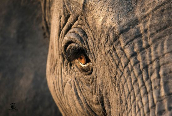 Nahaufname Elefantengesicht