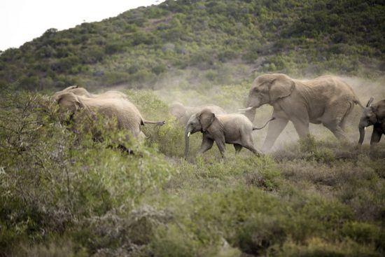 Manada de elefantes caminhando com atitude na Reserva Kwandwe, África do Sul