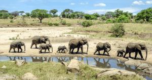 Éléphants marchant le long d'une rivière au parc de Tarangire, Tanzanie
