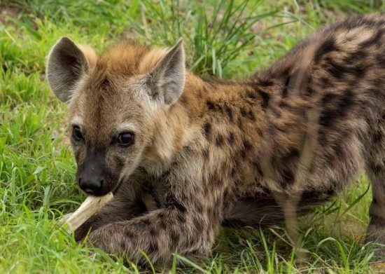 Hyäne mit Knochen in der Wiese