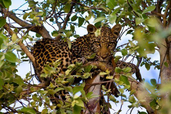 Leopardo entre las ramas