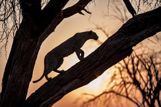 Silhueta de um leopardo durante pôr do sol em Botsuana